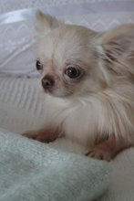 Chihuahua, parring tilbydes
