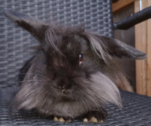 Løvehoved /mini lop