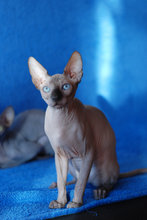 hankat sphynx adoption