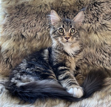 Smuk Maine Coon hunkilling