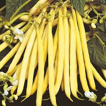 YELLOW FRENCH BEAN ROCQUENCOURT